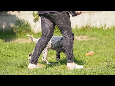 english setter puppy movement2
