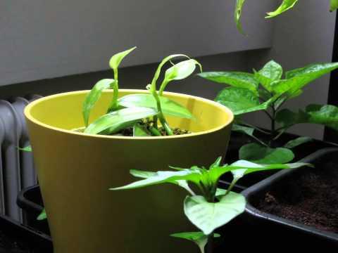 vanilla planifolia time lapse