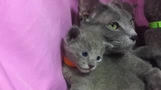 Русские голубые котята. Питомник Русских Голубых кошек Ruzara