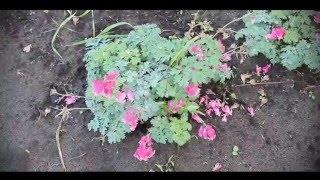 Дицентра красивая (цветет с мая по октябрь)