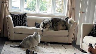 Giant Cat Beats Up Dog!! (Maine Coon V Malamute)