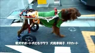 犬用車椅子K9Cartsで歩行するアイリッシュセターのグローリーくん.