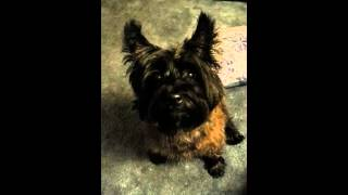 Talking dog. Cairn terrier asks for a treat!