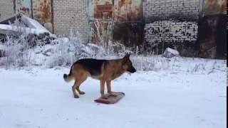 Дрессировка собак по ОКД.Немецкая овчарка Брут выполняет комплекс ОКД на расстоянии.