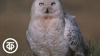 В объективе - животные. Белая сова (1986)