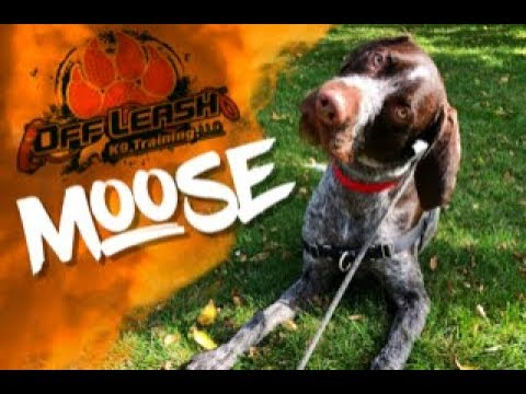 GERMAN WIREHAIRED POINTER 'MOOSE' | Outstanding Transformation Central Minnesota