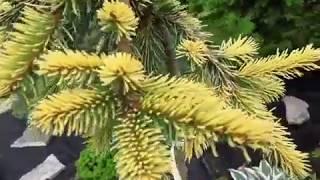 Обзор растений из хвойного сада Оли Молчановой. Часть 4.