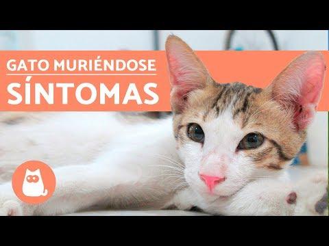 ¿Cómo saber si un gato se va a morir?