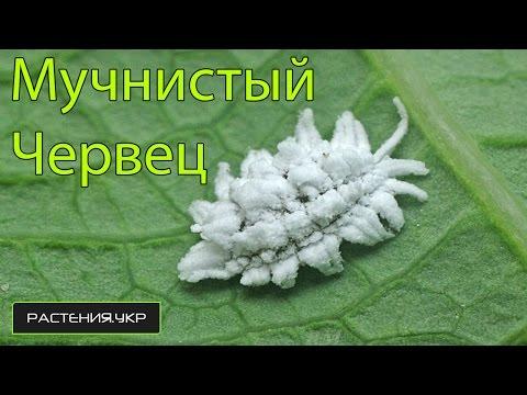 Вредители комнатных растений мучнистый червец  / Pests houseplants mealybug