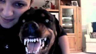 Rottweiler Showing Off Her Teeth