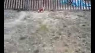Kahlua ,only 1.8 kg teacup poodle boy ,in a Dogrun in Yamanashi, Ja...