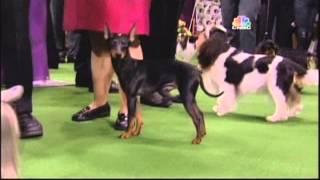 Noble Inglett @ Westminster Kennel Club Dog Show 2013