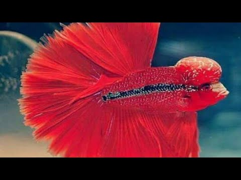 Betta Flower Horn Fish