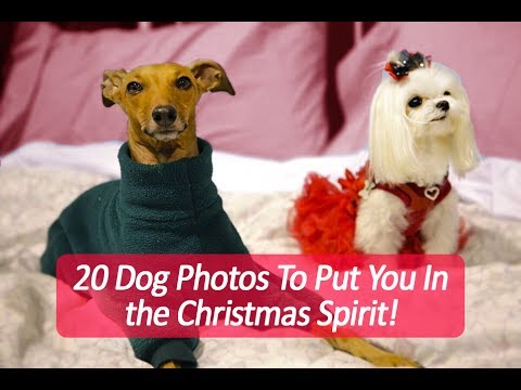 20 Dog Photos To Put You In The Christmas Spirit-Instagram Spotlight