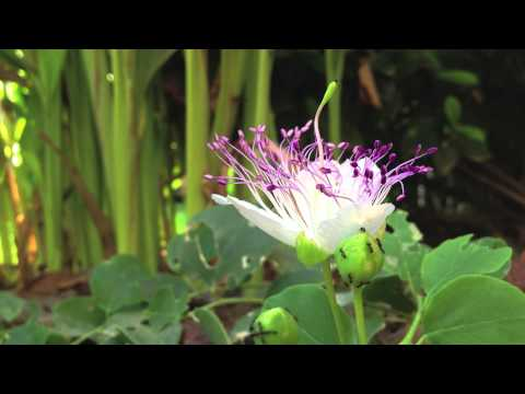 Time lapse of the opening of a Caper Flower - Capparis spinosa