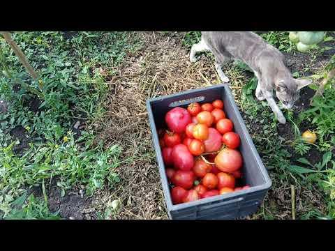 сбор народных томатов