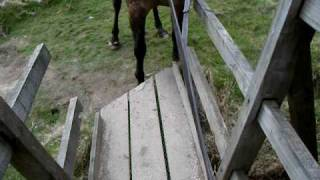 My Amazing Horse - Crossing A Wooden Foot-bridge.