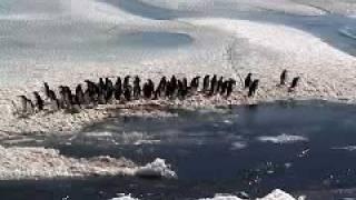 アデリーペンギン 集団で潜水を行うアデリーペンギン成鳥達。彼らの潜水...