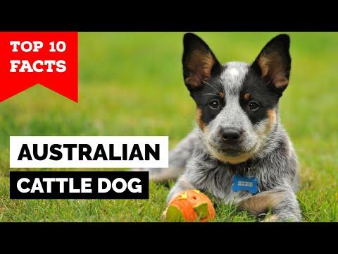 Australian Cattle Dog  Top 10 Facts