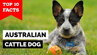 Australian Cattle Dog  Top 10 Facts