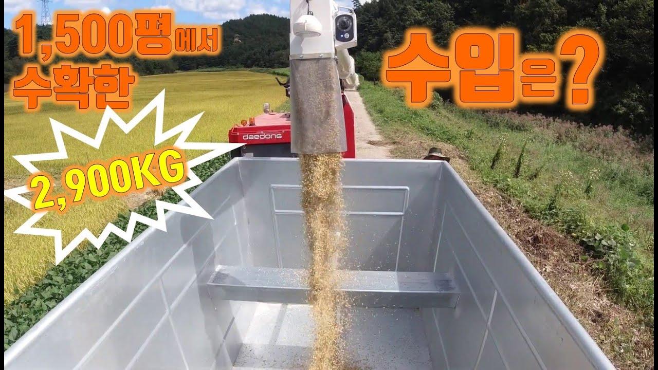 확~ 달라진 벼 수매 방법//1500평 논에서 수확한 2,900KG 벼를 팔면 얼마를 받을까? 수입 공개!