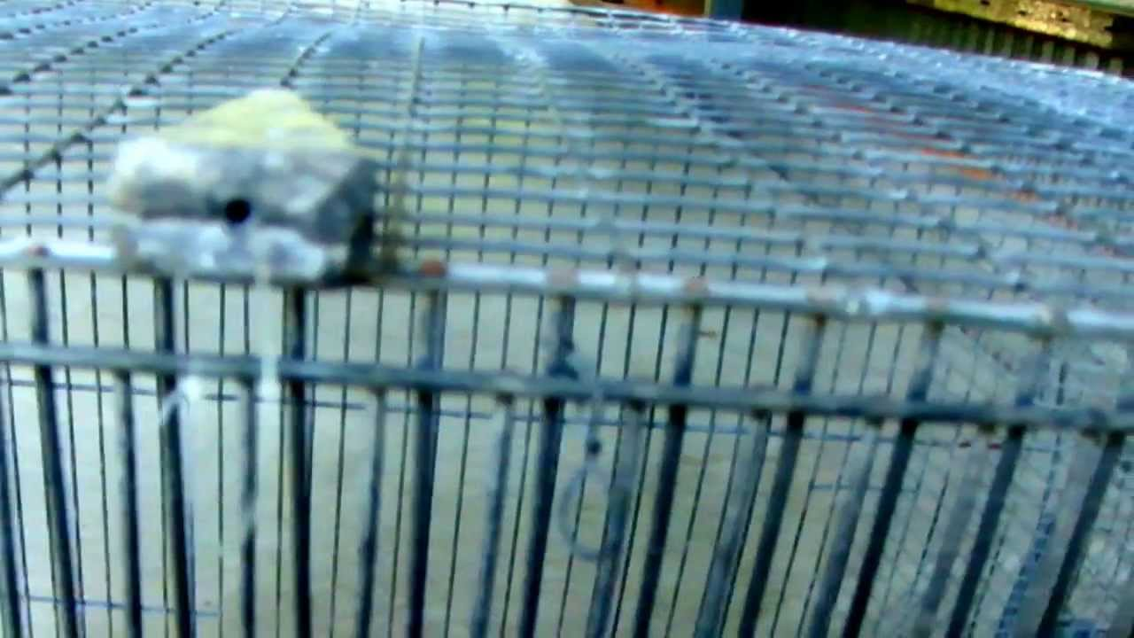 Bird and small mammal live trap - YouTube
