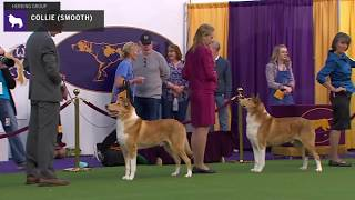 Collies Smooth | Breed Judging 2020