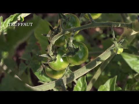 comment et quand planter les tomates au potager jardinerie truffaut tv youtube. Black Bedroom Furniture Sets. Home Design Ideas
