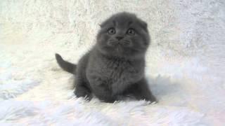 шотландские котята. Котик Melvis Bright