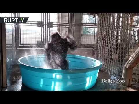 تعرف على غوريلا راقصة من حديقة حيوانات دالاس  - نشر قبل 40 دقيقة