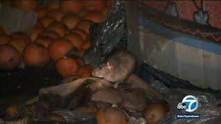 Rats running rampant in California, group says | ABC7