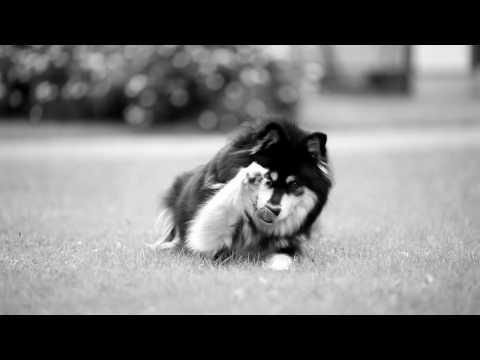 Finnish Lapphund Tuisku