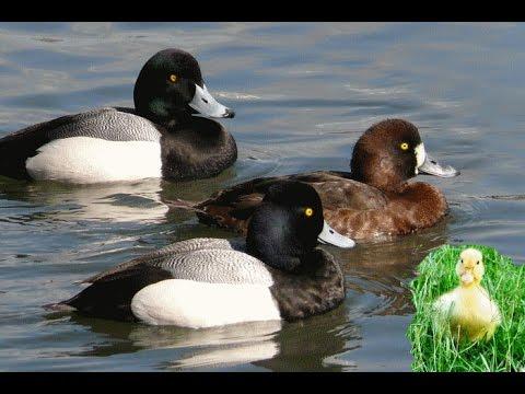 types of ducks more duck information - Duck Breeds