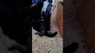 Мраморные котята скоттиш страйт в Киеве