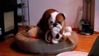 Our Horny Victorian Bulldog Max Caught in the Act