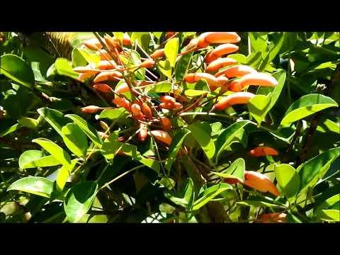Chiripepe Pyrrhura frontalis alimentandose en Ceibo.