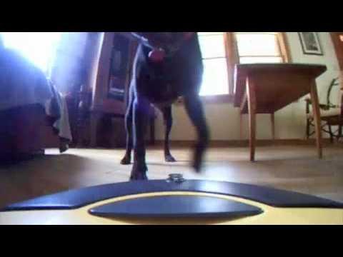 Roomba Dirt Dog Attacks Pit Bull