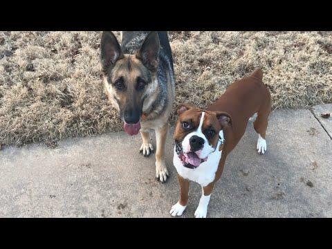 Playing Fetch | Odin & Samson