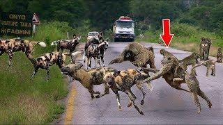 敵を恐れていない強力なヒヒ - ヒヒ対野生犬、ライオン、ヒョウ、ワニ -...