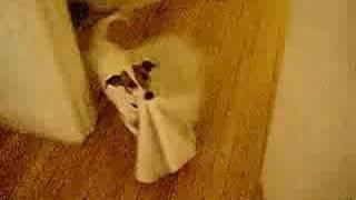 愛犬、ジャックラッセルテリアのピップ君は,ブランケットを心から愛し...