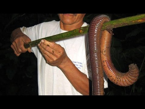 Biggest Earthworms in the World