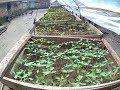 - Lengkap#cara semai benih cabai, tomat dan lainnya agar tumbuh serentak
