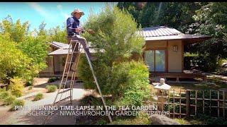 Tea House Niwaki Pine Pruning Time-Lapse