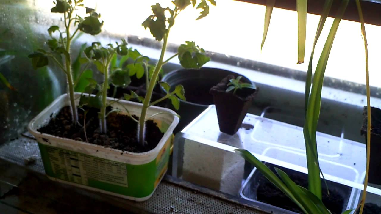 Tomaten Selber Zchten Balkon : Tomaten selber ziehen - YouTube