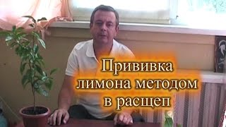 Прививка лимона методом в расщеп(Прививка лимона методом в расщеп. В этом видео автор, показывает, как правильно выполнить прививку лимона..., 2016-07-04T16:40:49.000Z)