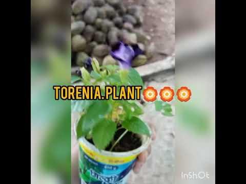 torenia plant care