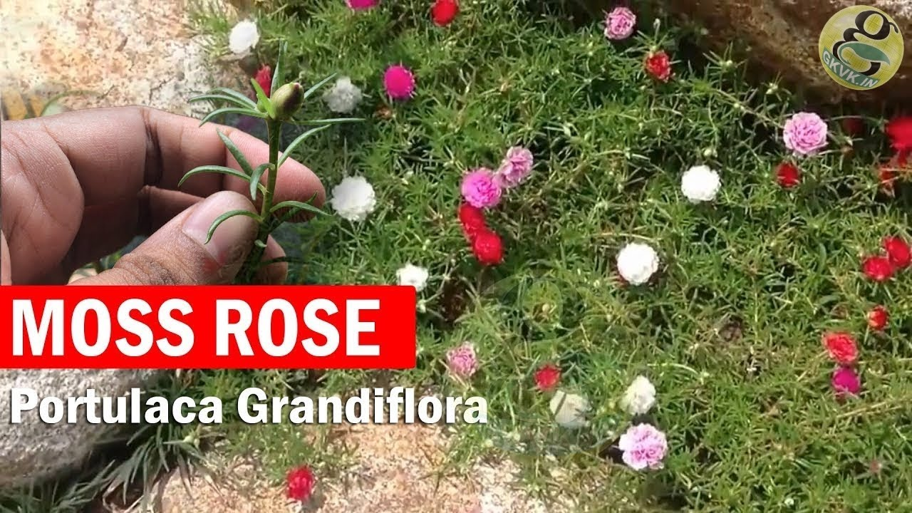 Portulaca grandiflora - How to Grow Moss rose, Rose moss, Button ...
