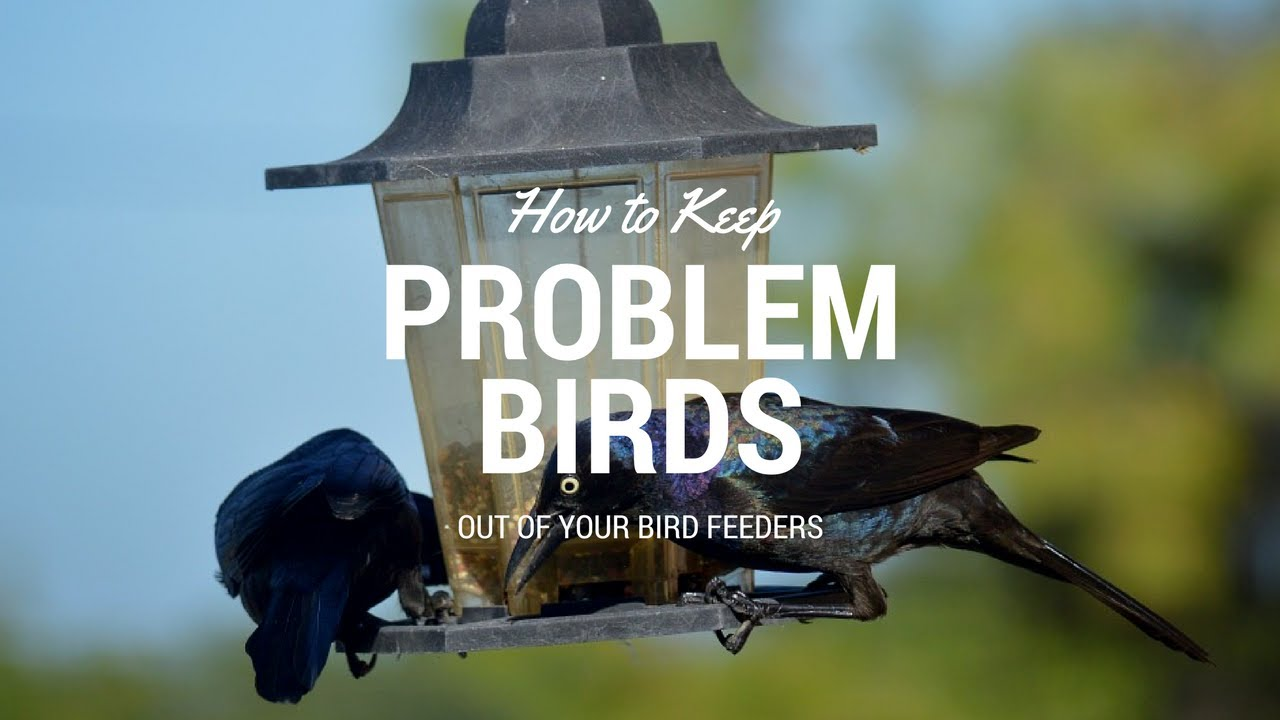 How To Keep Problem Birds Out Of Your Bird Feeders Youtube