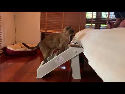 Clicker training a Burmese cat for physio exercises to strengthen his core and hindlegs