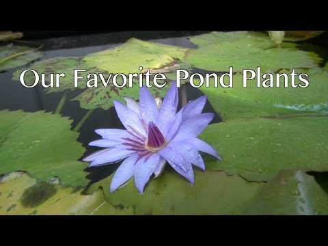 Our Favorite Pond Plants